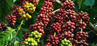Thị trường giá nông sản hôm nay 24/2: Có cần quỹ bình ổn cho cà phê, hồ tiêu?