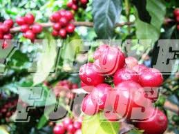 Giá cà phê hôm nay 2/2: Sắc xanh tràn ngập thị trường, khối lượng giao dịch bật tăng mạnh