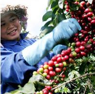 Thị trường cà phê hôm nay 20/3: Giá cà phê giảm
