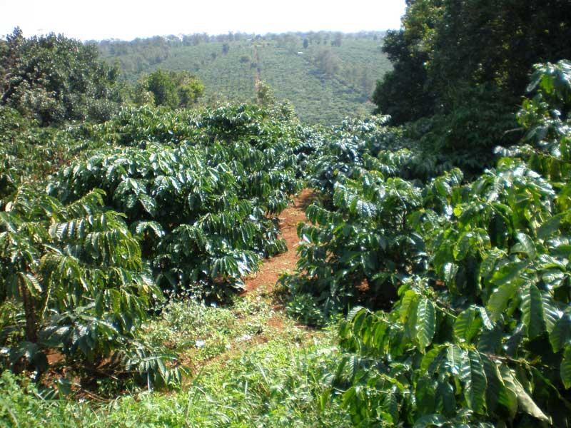 """Kon Tum: Người trồng cà phê bất ngờ nhận """"lộc trời"""" ngày đầu năm"""