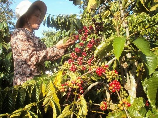 Mở vận hội cho cà phê Việt Mở vận hội cho cà phê Việt