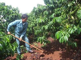 Nhiều loại rệp gây hại trên cây cà phê