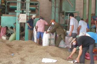 Xuất khẩu cà phê giảm 30 ngàn tấn