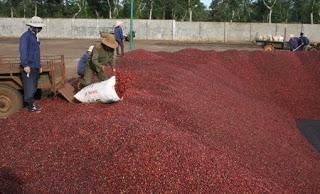 Giá cà phê trong nước ngày 24/07/2015 giảm trở lại 400 ngàn đồng/tấn