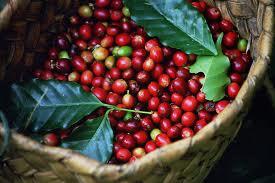 Xuất khẩu cà phê sụt giảm