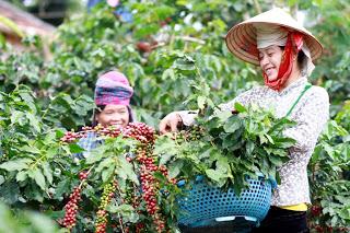 Nông dân Sơn La thấp thỏm chờ cà phê tăng giá