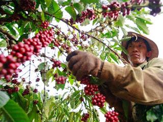 Cà phê Việt Nam - một năm đầy sóng gió