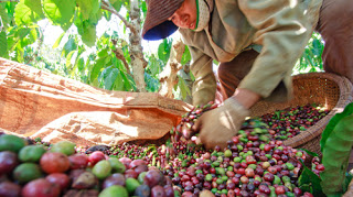 Giá cà phê trong nước ngày 20/05/2016 tiếp tục giảm mạnh 600 ngàn đồng/tấn