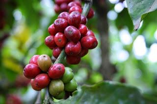 Giá cà phê trong nước ngày 24/05/2016 giảm 300 ngàn đồng/tấn