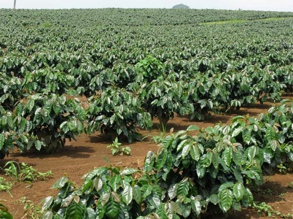 Nguồn vốn cho tái canh cà phê đã sẵn sàng đợi xuất…