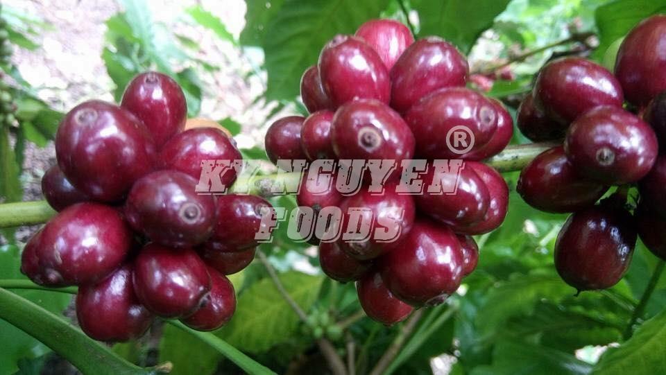 Giá cà phê hôm nay 26/11: Tăng nhẹ 300 đ/kg