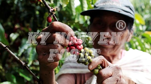 caphehat.vn: Hôm nay 23/5: Giá cà phê trong nước tăng mạnh