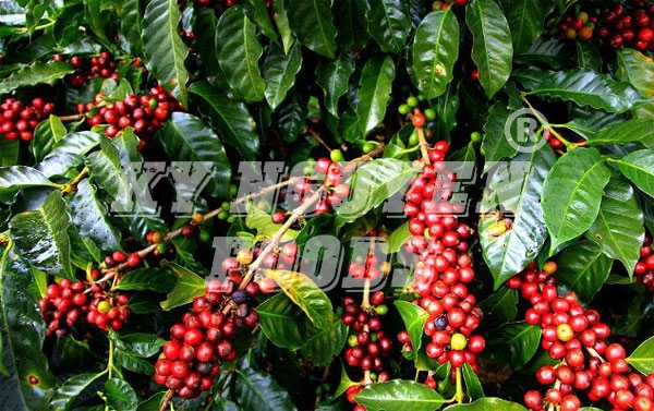 3,5 tỷ USD cà phê xuất khẩu của Việt Nam đến tay người tiêu dùng là 35 tỷ USD