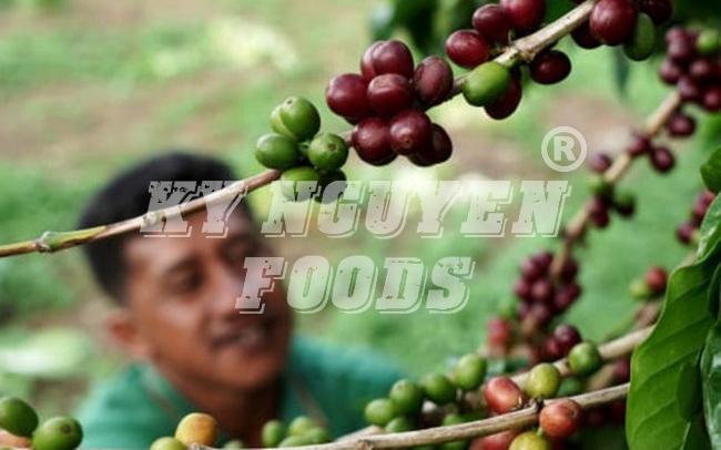 caphehat.vn Thị trường cà phê quí II/2020: Ngành cà phê chịu tác động kép hạn hán và dịch COVID-19