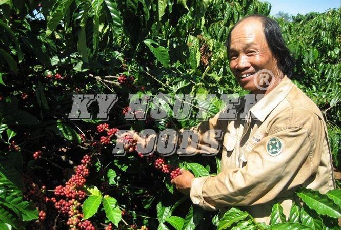 Cà phê Việt Nam 'không tự quyết được giá'